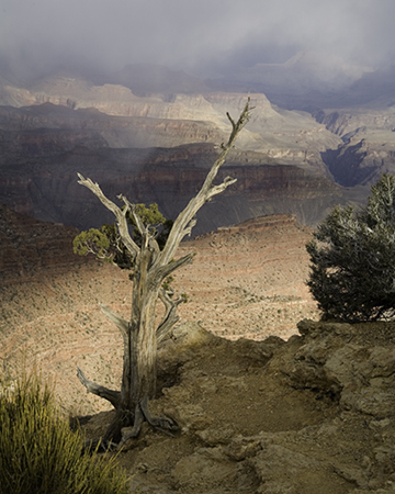 Rim Tree, Grand Canyon National Park